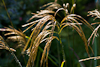 100912-8380 Miscanthus nepalensis (Himalayan fairy grass)