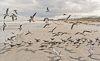 080104-3889 Skimmers and terns on Cape Canaveral beach (Florida)