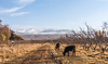 071103-2984 Cattle grazing in the Issyk-Kul basin (Kyrgyzstan)