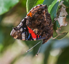 110805-1564 Red Admiral hanging from a Sweet Bay leaf, Cambridge