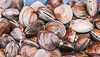 100930-8709 Quahogs or Hard Clams, Cape Canaveral, Florida